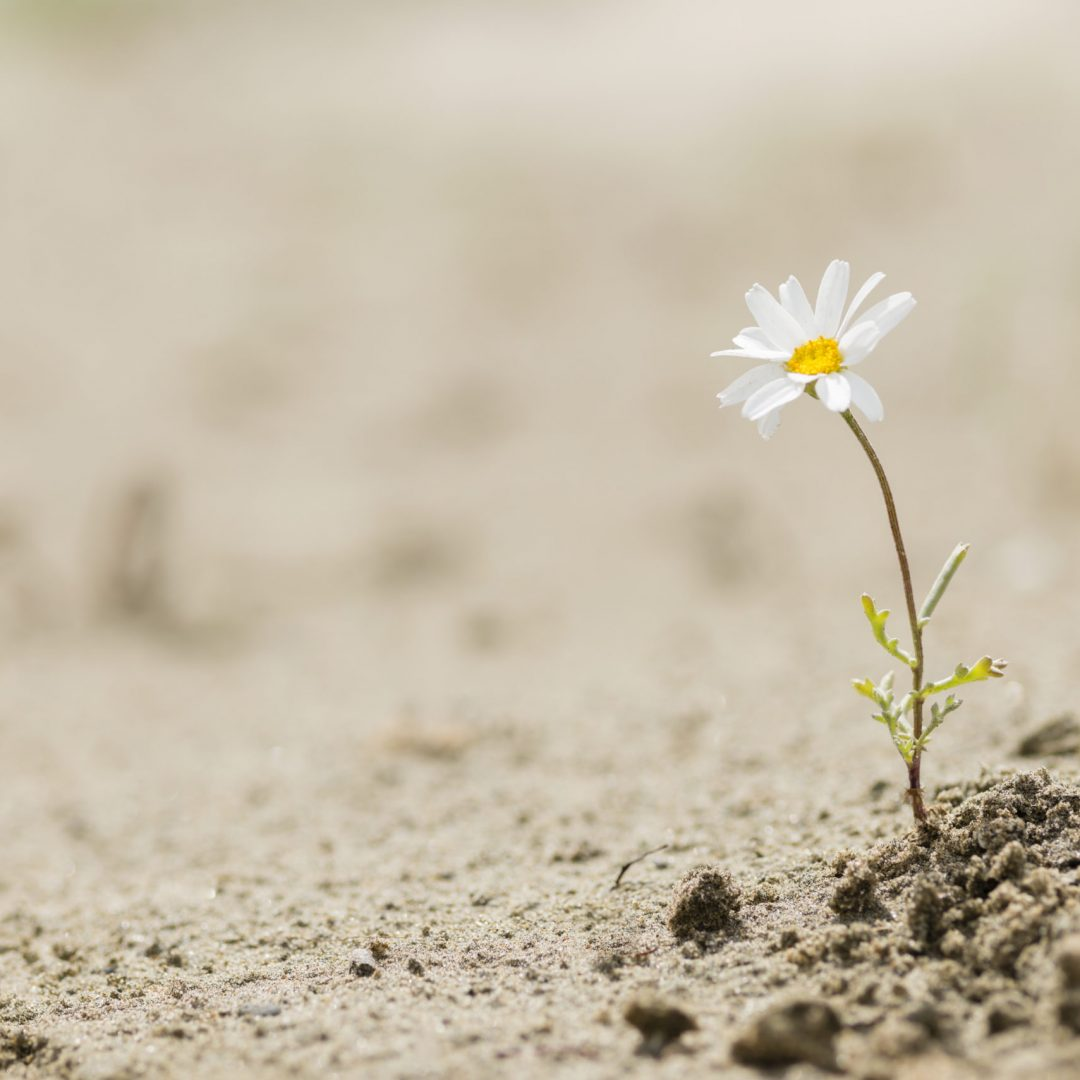 Resilient daisy plant flowering on a sandy desert with no water.
